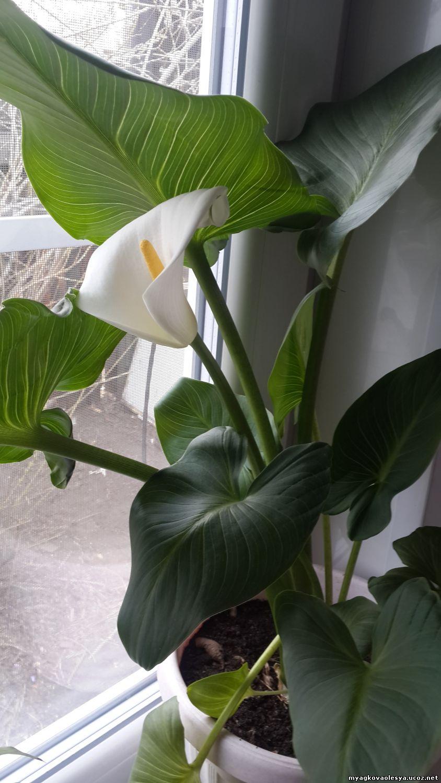 Фото цветов семейства ароидных